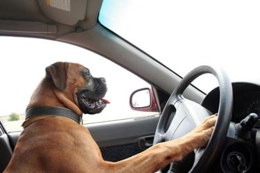 pes šoferujúci auto